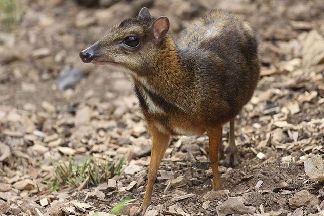 Javan Mouse-deer