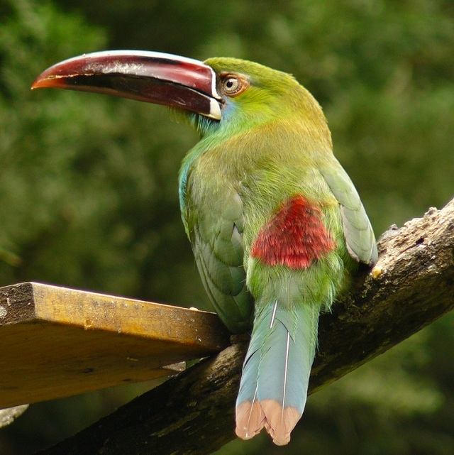 beautiful toucans