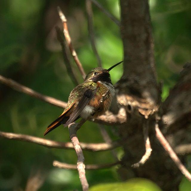 Bahama Woodstar hummingbird
