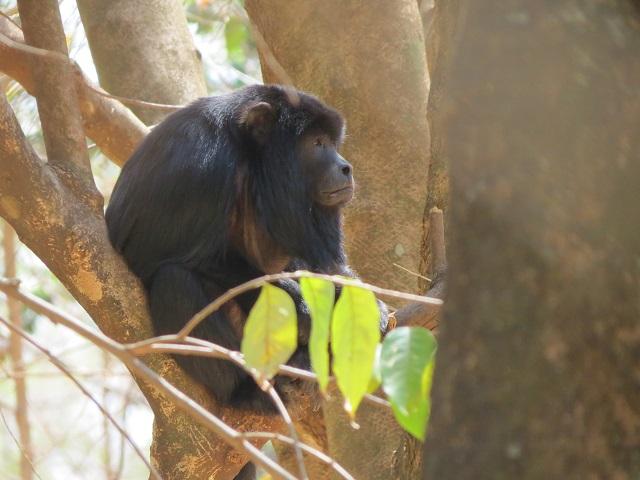 Black Howler-monkey