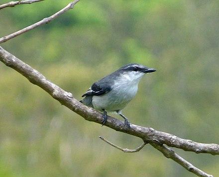 cuckoo shrike