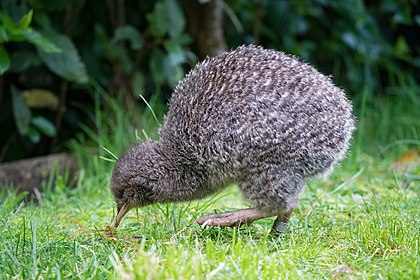 spotted Kiwi
