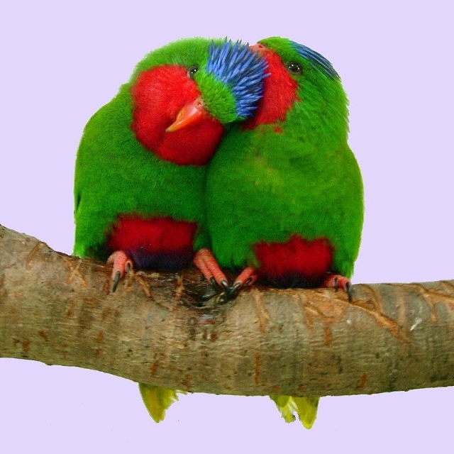 Blue-crowned Lorikeets