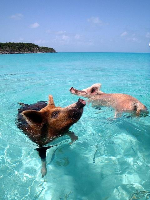 Less-Visited Beautiful Islands Pig Island