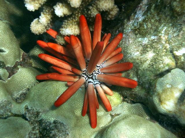 Red Pencil Sea-urchin