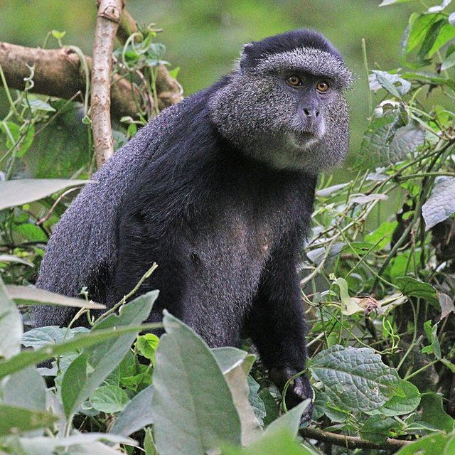 Ble Monkey