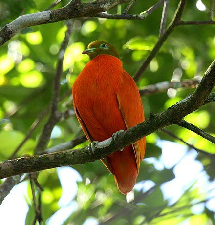 Orange Fruit Dove