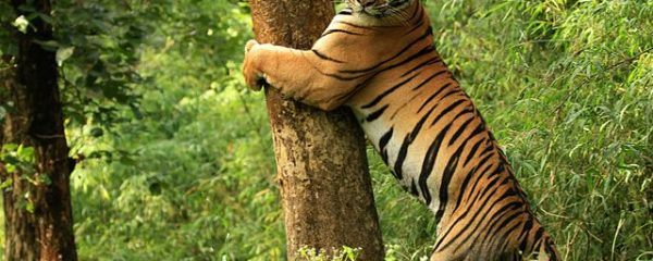 How to Ensure an Ethical Tiger Safari?