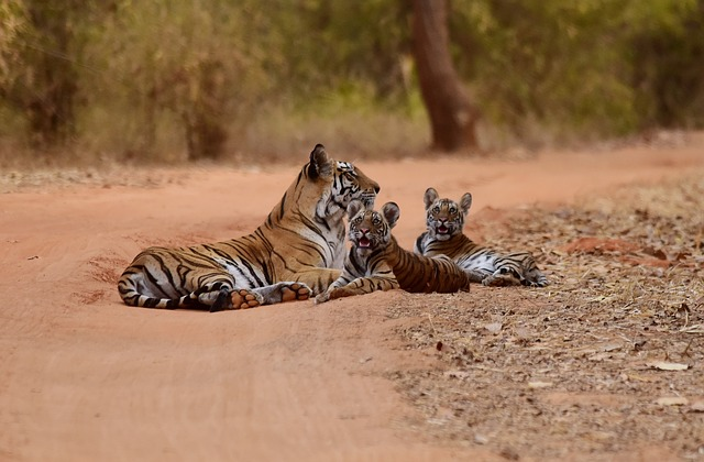 tiger- India